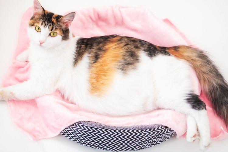 Ilustrasi kucing hamil.