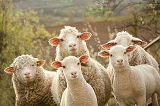 Seorang Peternak Perancis Daftarkan 15 Dombanya ke Sekolah Dasar