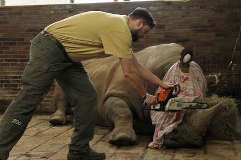 Mengapa Kebun Binatang di Ceko Potong Cula 21 Badak Miliknya?
