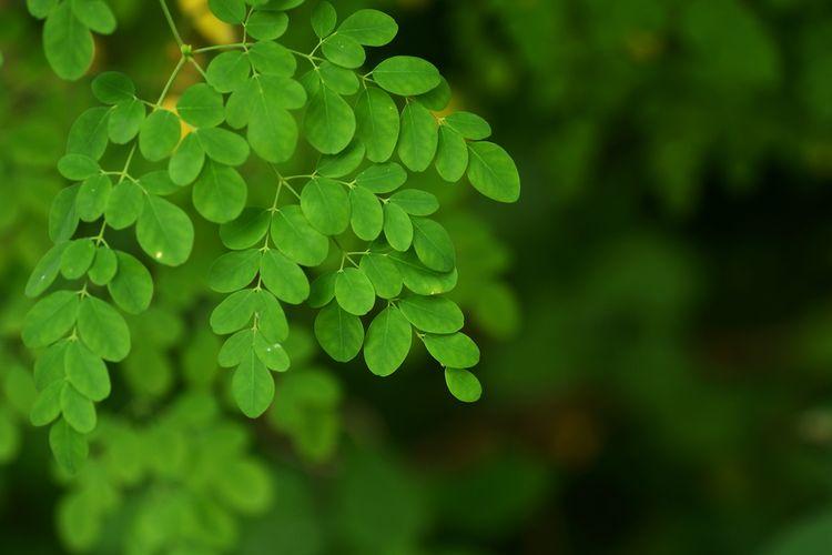 Ilustrasi tanaman kelor (Moringa oleifera)