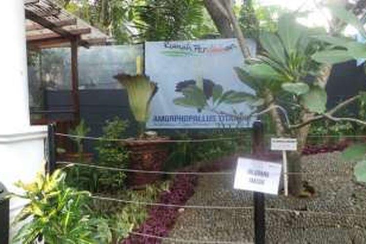 Download 420 Koleksi Gambar Dan Penjelasan Bunga Bangkai HD Paling Keren