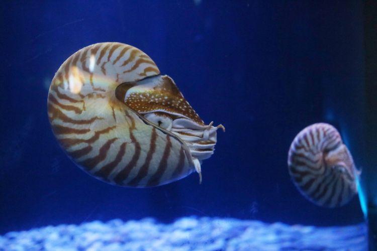 Chambered Nautilus disebut The Living Fossil. Fosil purba yang masih hidup di abad ini, karena telah hidup lebih dari 265 juta tahun yg lalu, sebelum adanya dinosaurus.