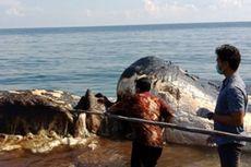 Bangkai Paus Sepanjang 15 Meter Ditemukan Terdampar di Bali