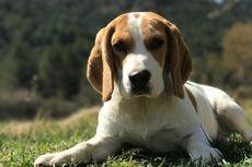 Perhatikan, 6 Ras Anjing Ini Suka Merusak Barang di Rumah