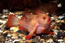 Ikan Langka Berkepala Mohawk Akhirnya Resmi Punah, Kok Bisa?