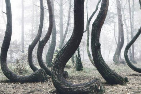 Pohon di Hutan Ini Tumbuh Bengkok, Tak Ada yang Tahu Alasannya