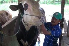 Sapi Kurban 1 Ton yang Dibeli Jokowi Mendadak Jadi Objek Wisata Baru