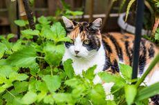 Catnip Melindungi Kucing dari Nyamuk, Benarkah?