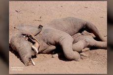 22 Gajah di Zimbabwe Mati, Diduga karena Infeksi Bakteri