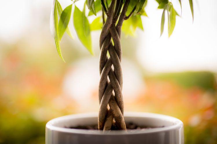 Pohon uang atau Pachira aquatica