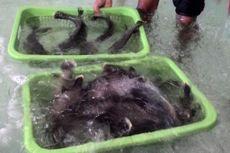 Banyak Karang Rusak di Balikpapan, Ikan Langka Napoleon Dilepas di Daerah Lain