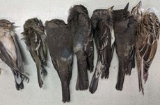 Misterius, Kematian Massal Bunuh Ratusan Ribu Burung di Amerika