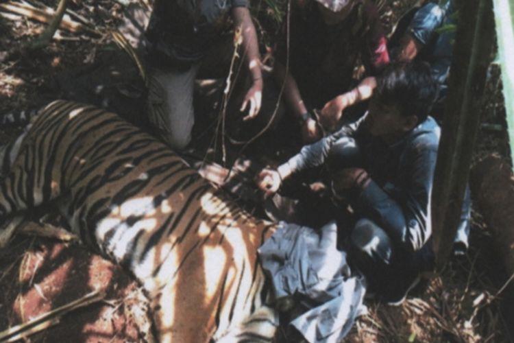 Harimau sumatera yang ditemukan terjerat di Desa Sangar, Kecamatan Teluk Meranti, Kabupaten Pelalawan, Riau, Minggu (24/3/2019). Dok. BBKSDA Riau