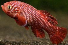 Bagi Ikan Ini, Hidup Cuma Mampir Kawin