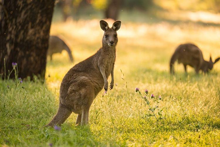 Kanguru.