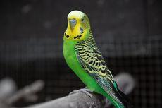 5 Ras Burung Peliharaan yang Memiliki Kemampuan Berbicara