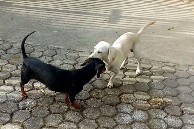 Moxie (putih) dan Miley. Anjing jenis dachshund yang berkorban dengan Miley mati ketika melindungi keluarga majikan dari ular kobra.