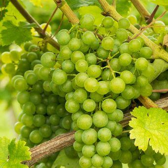 Ilustrasi tanaman anggur.