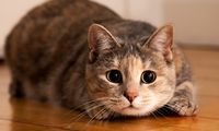 Kasus Pertama, Kucing di Belgia Tertular Virus Corona dari Pemiliknya