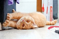 Kucing Suka Menggaruk Sofa? Begini Cara Mengatasinya