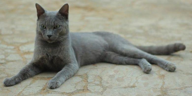 Kucing Busok. Kucing endemik asal Pulau Raas