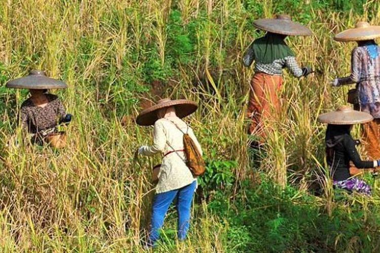 Panen padi bersama di Kampung Ciptagelar, Kecamatan Cisolok, Kabupaten Sukabumi, Jawa Barat.