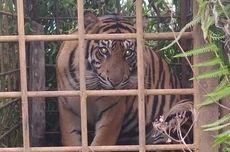 BKSDA Conservationists in West Sumatra, Indonesia Trap Sumatran Tigers