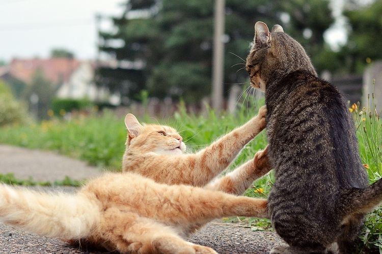 Ilustrasi kucing berkelahi.