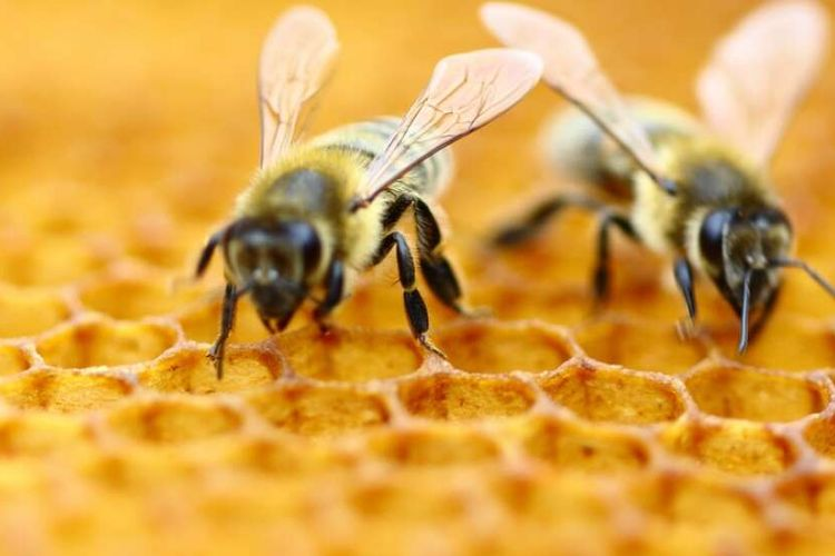 Ilustrasi lebah madu