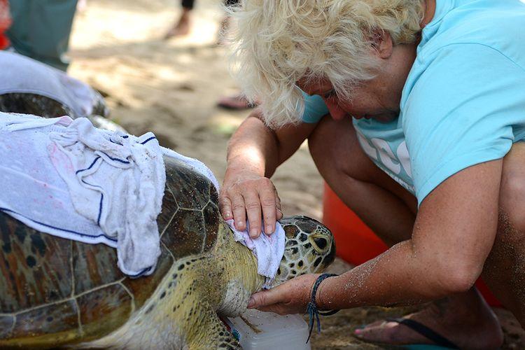 Seorang turis mancanegara memegang penyu hijau sebelum dilepaskan di Pantai Kuta, Bali, Selasa (7/2/2017). Ditpolair Polda Bali merilis 7 dari keseluruhan 11 ekor barang bukti hasil ungkap kasus perdagangan ilegal penyu hijau di akhir 2016 dan awal 2017.