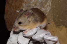 Pecahkan Rekor Dunia, Tikus Ini Mampu Hidup di Puncak Gunung Berapi