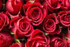 6 Fakta Menarik Bunga Mawar yang Belum Diketahui