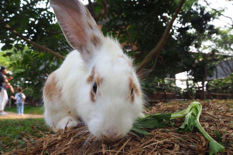 Salah satu kegiatan bersama binatang, bermain dan memberi makan kelinci di The Ranch Cisarua