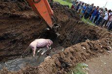 Antisipasi Kolera, Alasan Camat Hamparan Perak Tertibkan Peternak Babi