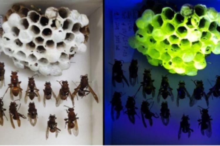 Sarang tawon saat terkena cahaya putih dan sinar ultraviolet