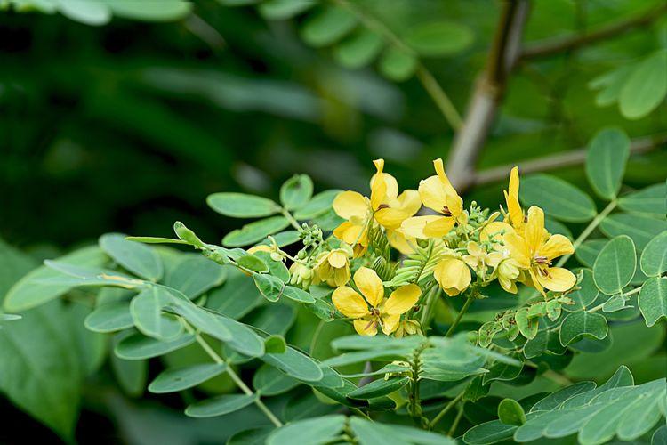 Cassia glauca.