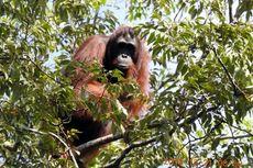 Menjaga Populasi dan Habitat Orangutan di Lansekap Sungai Putri-Taman Nasional Gunung Palung