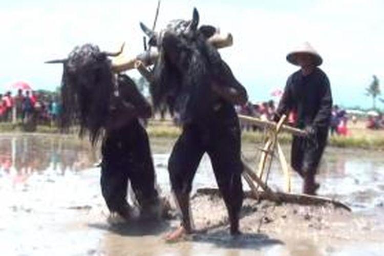 Pemeran kebo-keboan lengkap dengan tanduk buatan sedang membajak sawah di Tradisi Kebo-Keboan Alas Malang, Banyuwangi, Minggu (10/11/2013).