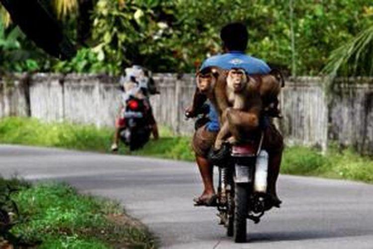Warga berkeliling menjajakan jasa beruk pemetik kelapa di Padang Pariaman, Sumatera Barat, pertengahan Juli 2013.