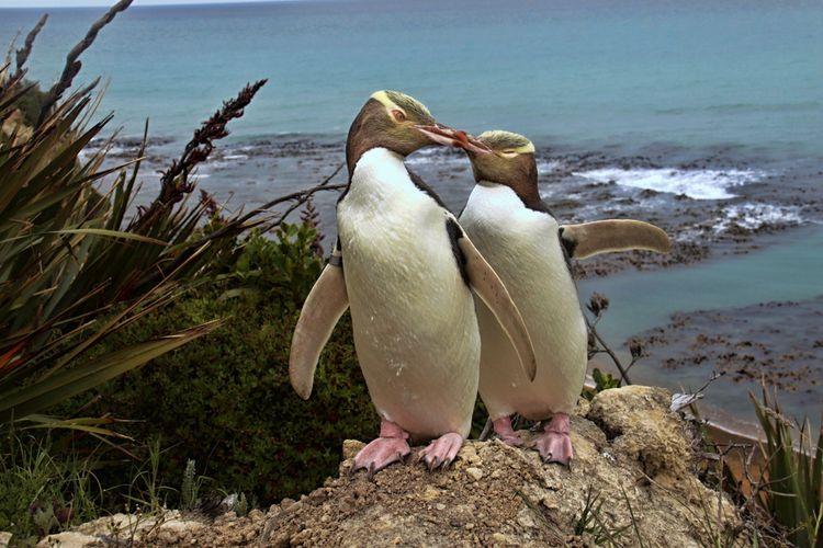 Penguin khas Selandia Baru