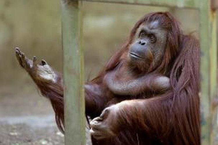 Sandra, orangutan berusia 29 tahun yang sudah 20 tahun dikurung di Kebun Binatang Buenos Aires