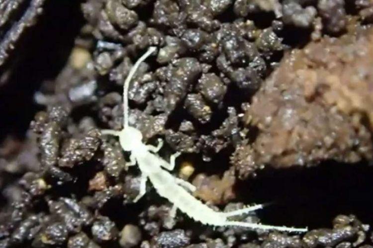 Spesies baru bernama Haplocampa wagnelli ditemukan di salah satu gua pulau Vancouver, Kanada. Kemungkinan makhluk ini terjebak di gua itu sejak zaman Es.