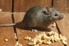 3 Cara Ampuh Cegah Tikus Masuk Rumah Saat Musim Hujan