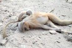 Anak Monyet Ini Berusaha Bangunkan Sang Induk yang Mati Tersetrum