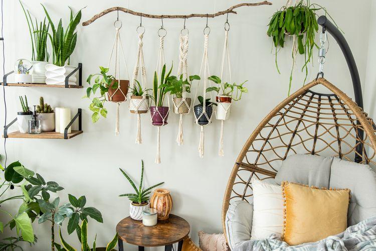 Ilustrasi tanaman hias gantung di dalam rumah.
