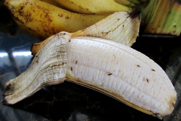 Ilustrasi lalat buah