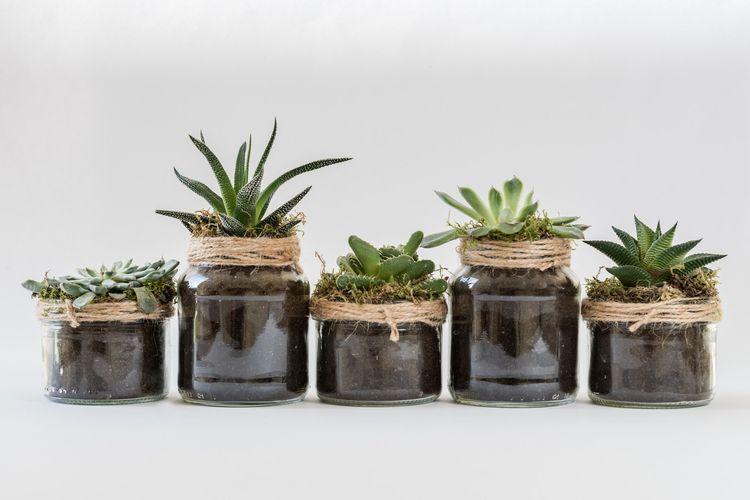 Ilustrasi jenis tanaman hias sukulen.