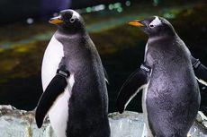 Dianggap Sebagai Hewan Setia, Penguin Ternyata juga Bisa