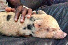 Tersandung Aturan, Babi Peliharaan Balotelli Dilarang Masuk ke Inggris