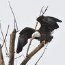 Elang Botak Tunjukkan Superioritasnya, Serang dan Jatuhkan Drone